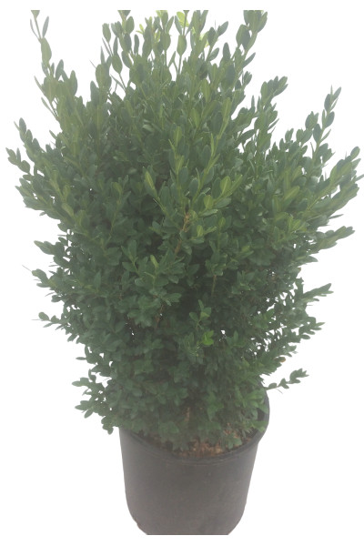 Green Mountain Boxwood shrubs in Omaha