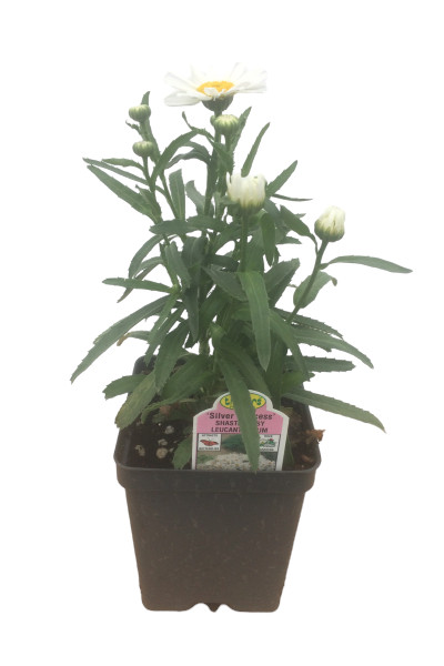 Silver Princess Shasta Daisy plants in Omaha