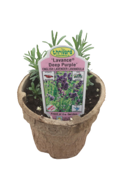 Lavance Purple Lavender plant