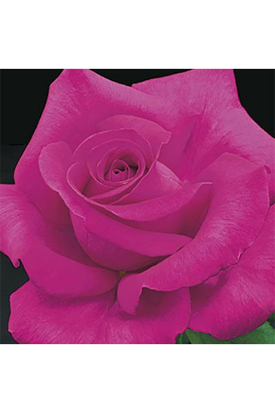All My Loving Rose plants for sale