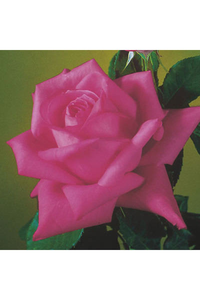 Miss All American Beauty Rose plants for sale