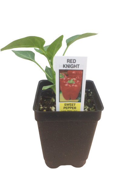 Sweet Red Knight Pepper vegetable plants for sale in Omaha