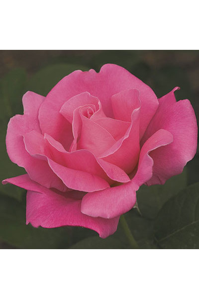 Perfume Delight Rose plants for sale