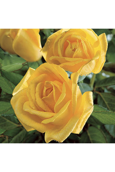 Radiant Perfume Grandiflora Rose plants for sale in Omaha