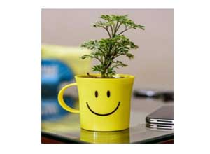 Rolling Nature Aralia Variegated in Smiley Cup