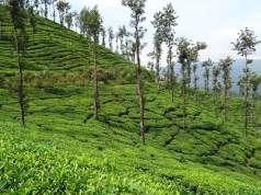 Post tea auction operations hampered, says tea producers