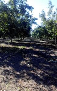 california-walnuts-2