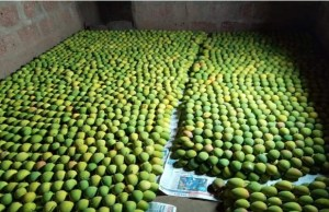 From Farm-to-Fork: How Kokan Bhumi Pratisthan is all set to deliver naturally ripen mangoes to consumers door step