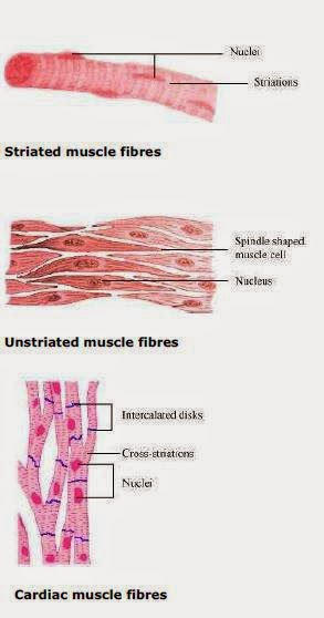Difference between three muscle fibres