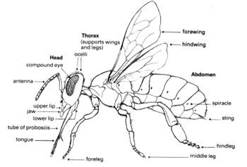 hornet anatomy diagram 1973 evinrude ignition switch wiring the original busybees of a bee