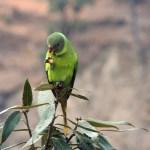 Slatey headed parakeet