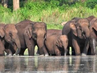 Madumalai elephants
