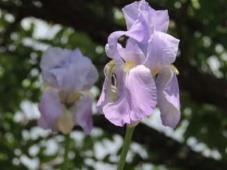 sikkim iris