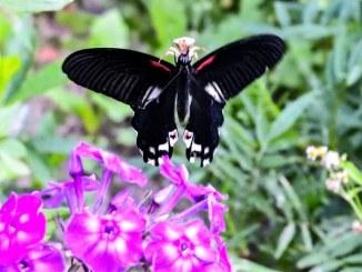 Redbreast Papilio alcmenor