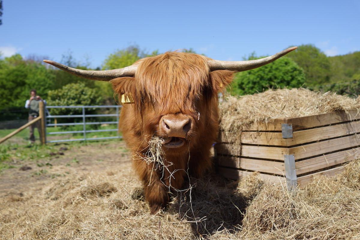 Clarissa the highland cow