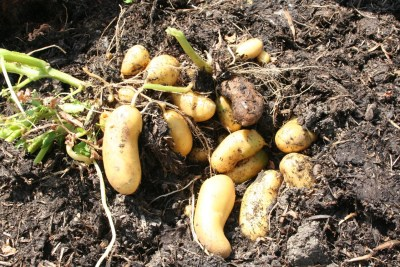 Charlotte potatoes July, tubers develop in the compost