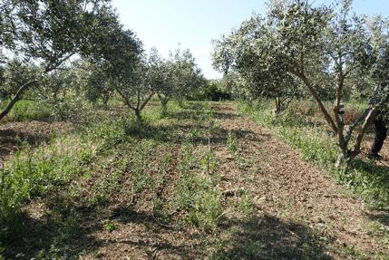 Veg under olive. Stacking production. Credit Niels C