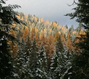Frosted Tamaracks flash fiction writing prompt by KS Brooks ALL RIGHTS RESERVED122911 peek