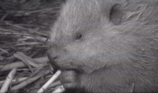 'Yellowstone Live': Meet the Beavers, The Breakout Animal Stars of the Park