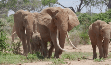 'The Elephant Queen' Review: Apple's Kid-Friendly Nature Doc Offers a Necessary Corrective to 'The Lion King'