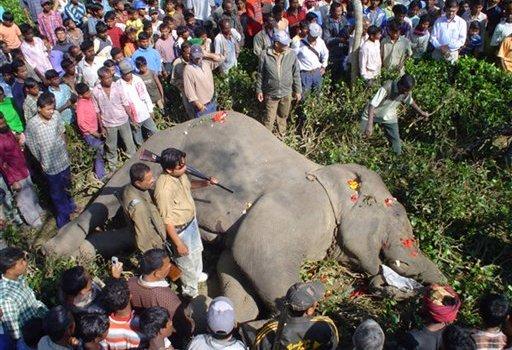 Ucciso dalle autorità indiane Osama Bin Laden, l'elefante assassino