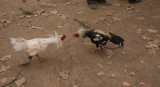 Il fotoracconto: il combattimento dei galli tra i tribali di Bastar e Dantewada