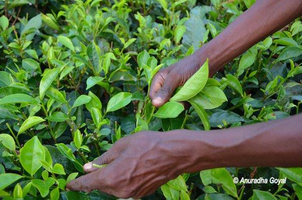 असम चाय की पत्तोयों की बिनाई