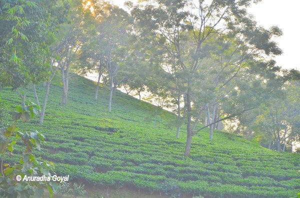 हरा कालीन से दीखते असम चाय बगान