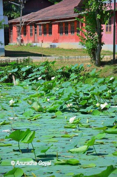 चाय अनुसन्धान केंद्र में कमल के फूल