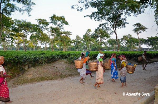 असम चाय बागानों में श्रमिक