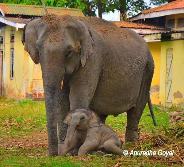 हाथी - काजीरंगा राष्ट्रीय उद्यान