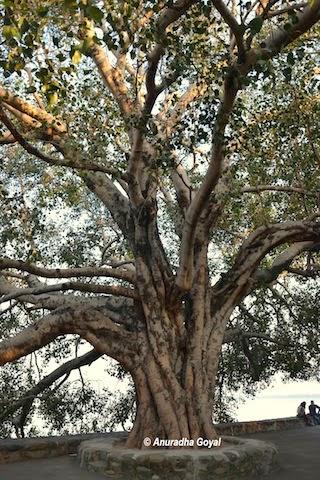 सुखना झील के किनारे प्राचीन वृक्ष
