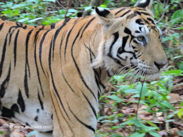 मुन्ना बाघ