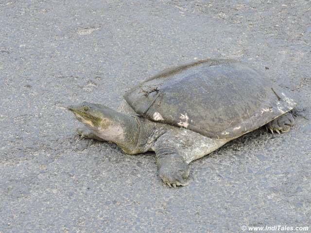 Cooch Behar Turtles