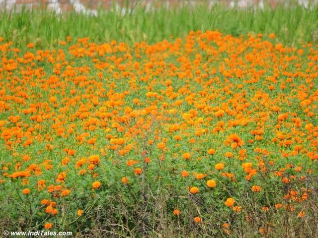 गेंदे के फूलों के खेत