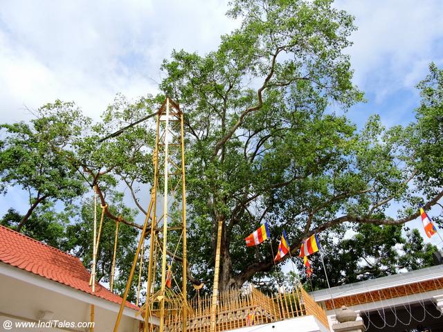 श्री महाबोधि वृक्ष - अनुराधापुरा, श्री लंका