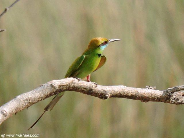 पतेना पक्षी