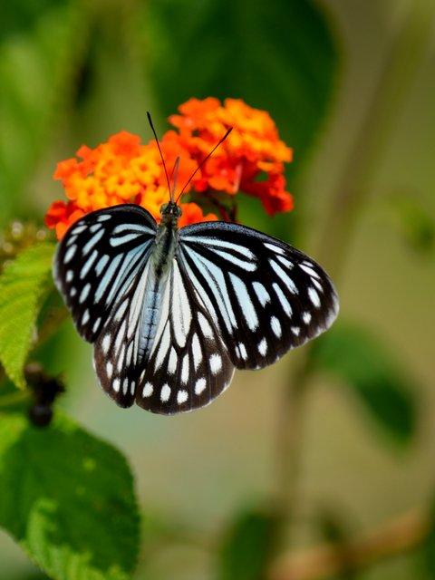 सतपुड़ा राष्ट्रीय उद्यान में एक तितली