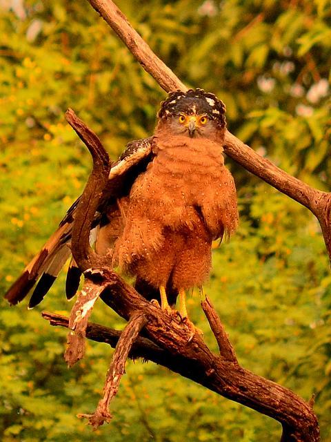 भरतपुर पक्षी उद्यान में चील