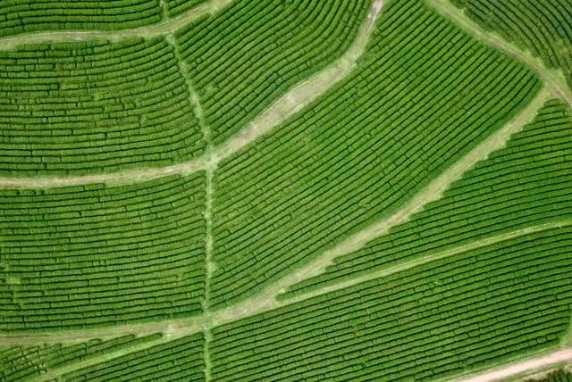 Tea plantations aerial view
