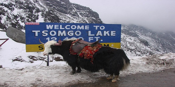 The Yak waits on at the Tsomgo Lake, North Sikkim, India