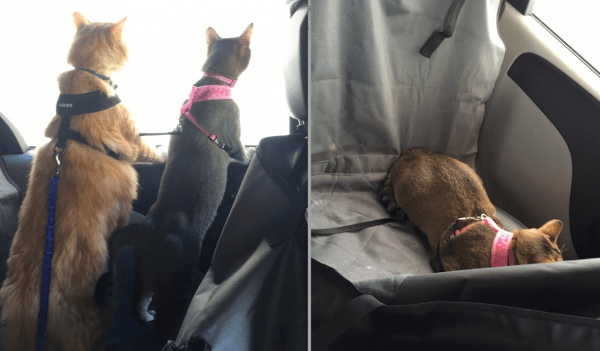 how to drive across the country with a cat