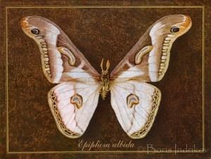 epiphora albida