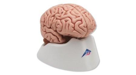 Classic Brain 5 Parts