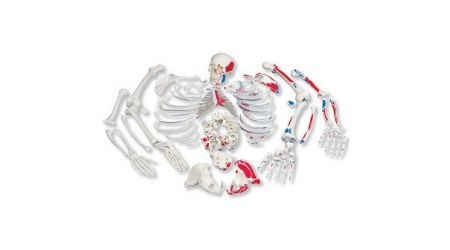 Human Painted Disarticulated Skeleton