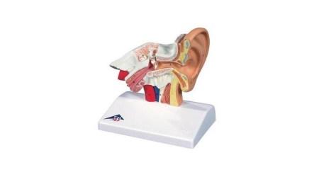 Giant Ear Model, 5 Times Full-Size, 3 Part