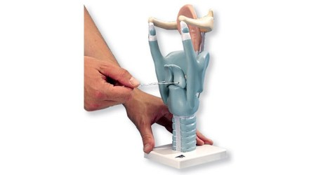 Functional Larynx Model