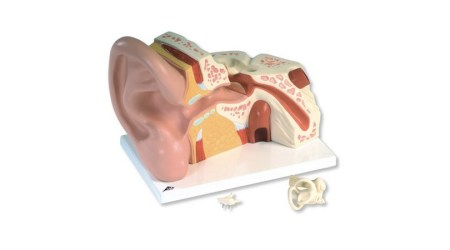 Ear Model, 3 times life size, 6 part
