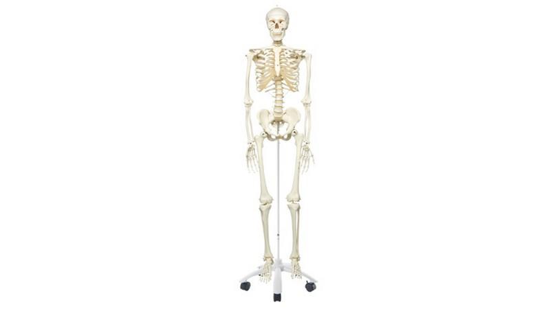 Human Skeleton on 5 Foot Roller Stand