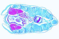 Branchiostoma, posterior pharynx showing liver t.s.